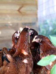 Chickens in a huddle