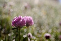 Clover in the morning dew