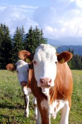 Who are you looking at cow?
