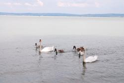 Swan family on Lake Balaton