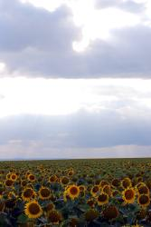 A sunflower-filled field