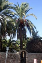 Palm trees in Antalya