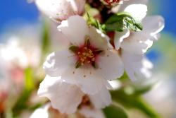 Spring almond blossoms