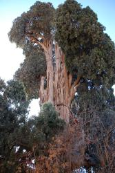 A cedar tree in the middle of a Zoroastrian village