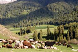 Sheep outnumber people in Kyrgyzstan