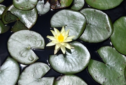 A flower and lily pads