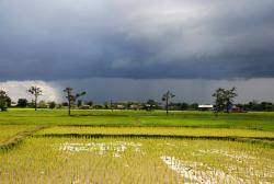 Rice fields and an incoming rain storm