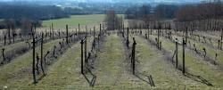 A Surrey vineyard