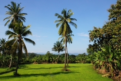 Coconut Trees in a rice field