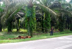 Harvesting palm oil nuts