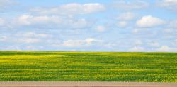 Canola fields coming into bloom