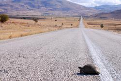 68-Turtle on the road.jpg