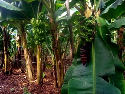 Ahmed's banana plants